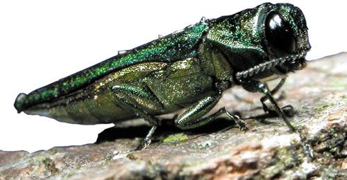 Close-up of an emerald ash borer