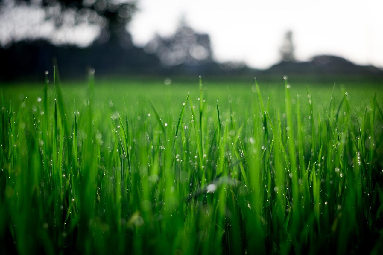 Horizontal, close-up shot of grass