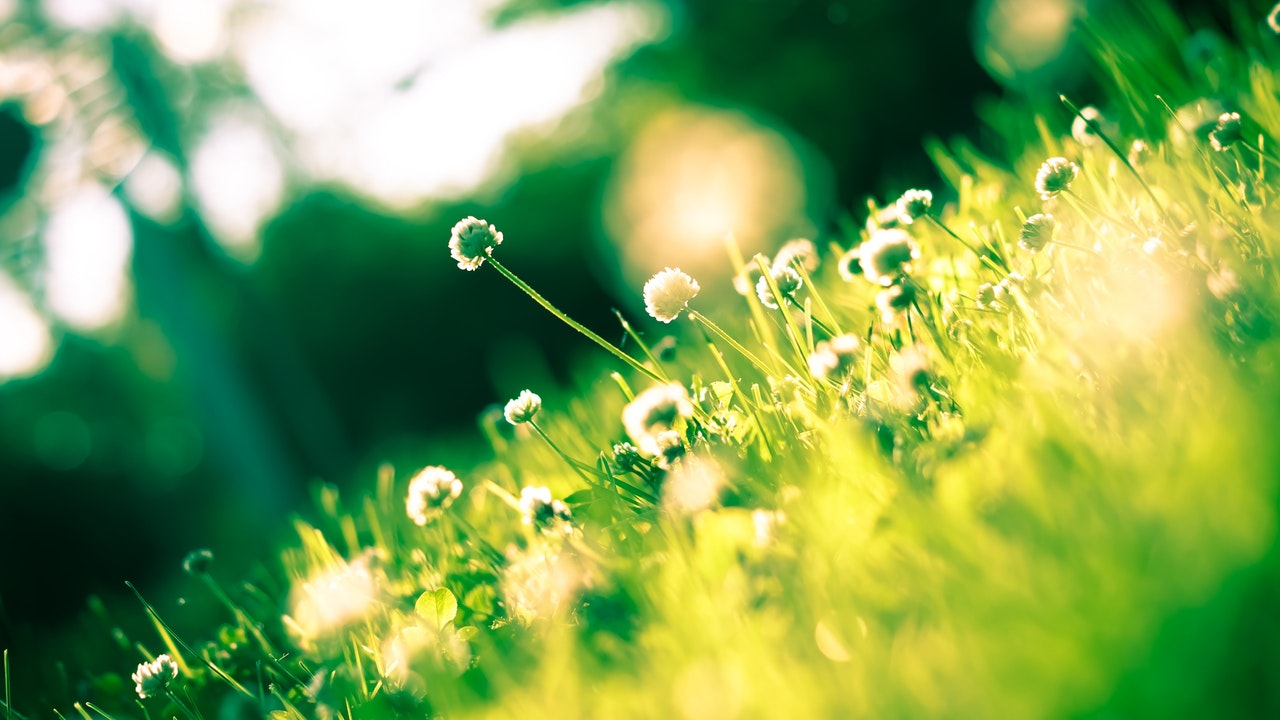 Sideways picture of dandelions in spring