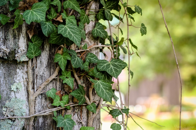 Ivy on Tree