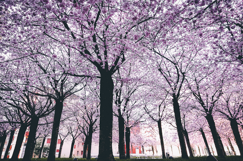 Pink and White Spring Trees - Clean Cut Trees